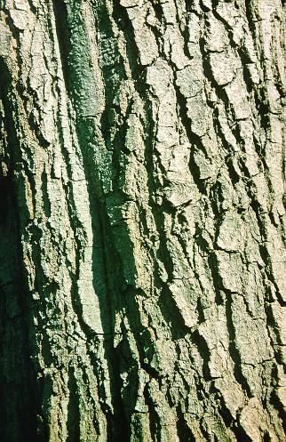 Fehér fűzfa kéreg zsír veszteség, Fehér fűzfakéreg